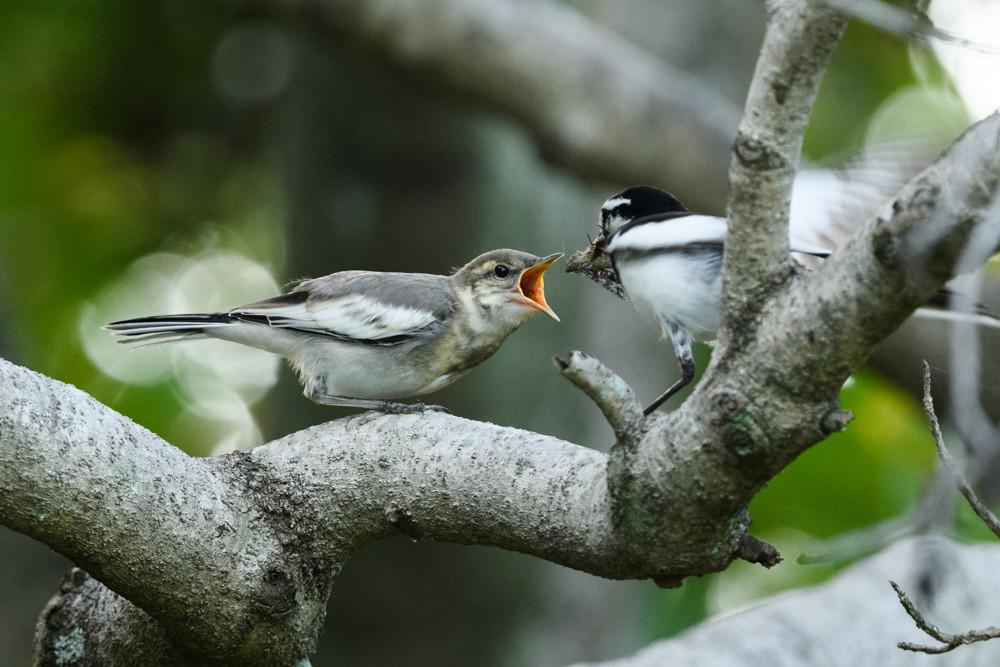 餌をもらうハクセキレイの幼鳥 / Feeding of a juvenile white wagtail