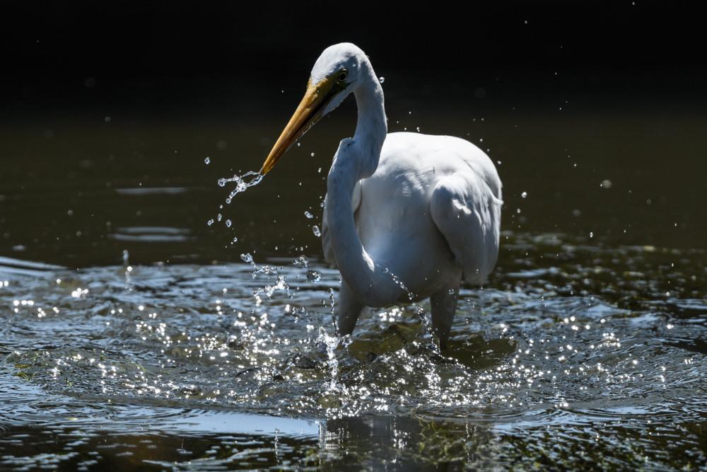 獲物を探すダイサギ / A Great Egret looking for its prey