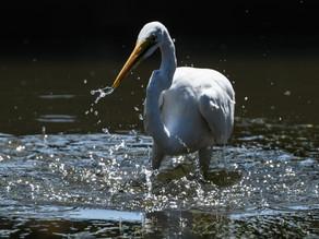 水路のダイサギ / Great Egret in a waterway