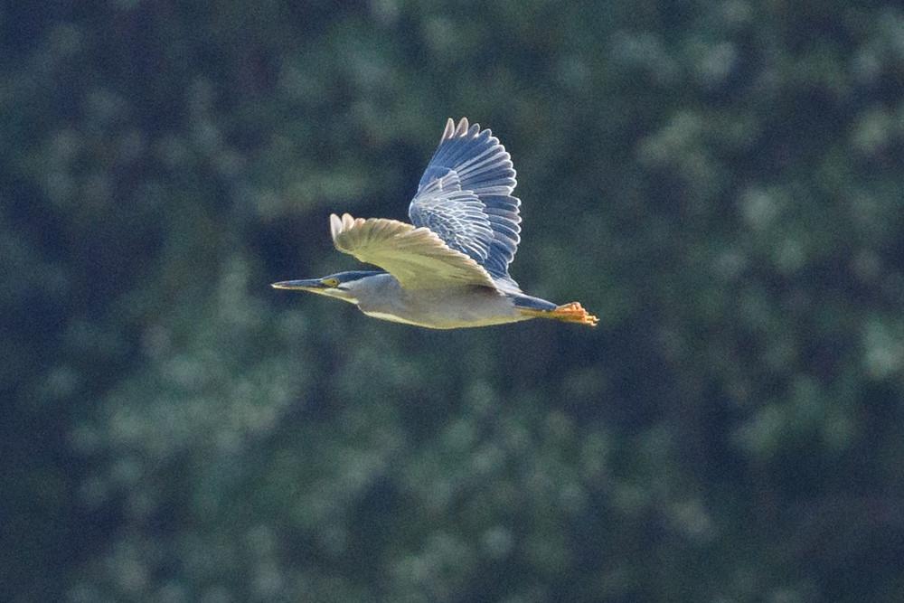 ササゴイ / Striated Heron