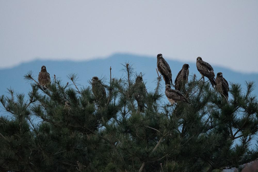 木にとまるトビの群れ / A flock of black kites on trees
