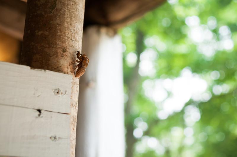 Cicada's Shell on Pillar