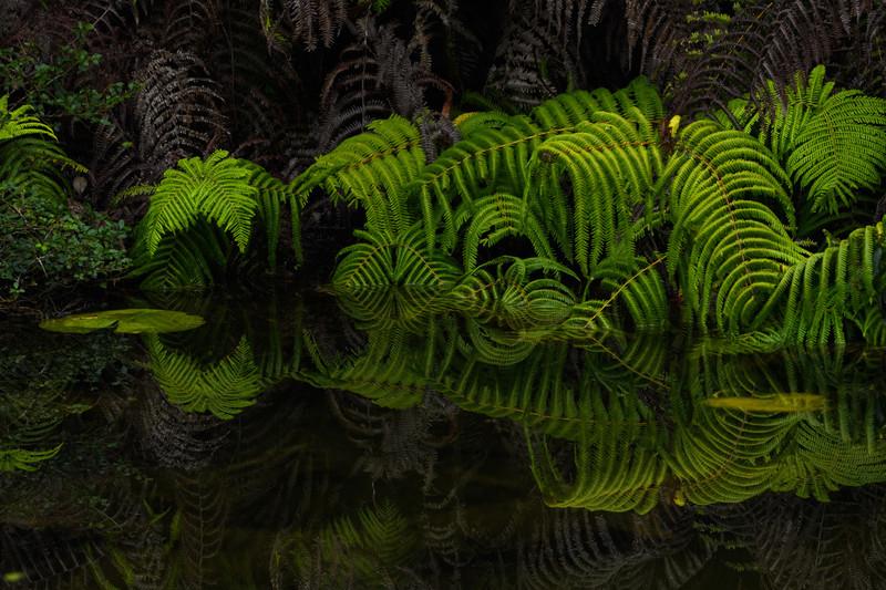 Ferns on Pond
