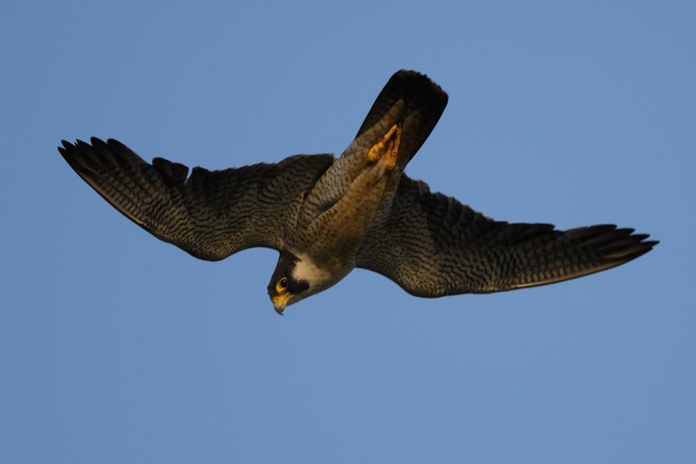 ハヤブサ / Peregrine Falcon