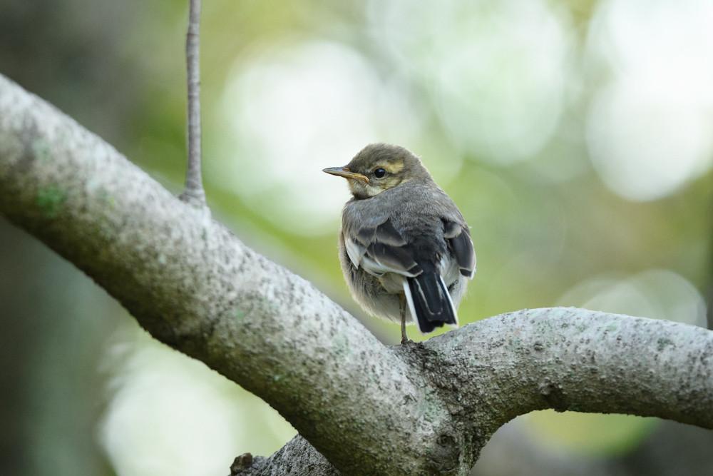 ハクセキレイの幼鳥 / Juvenile white wagtail