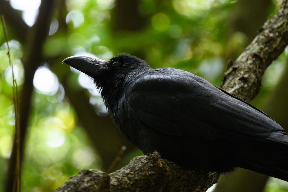 ハシブトガラス / Large-billed Crow