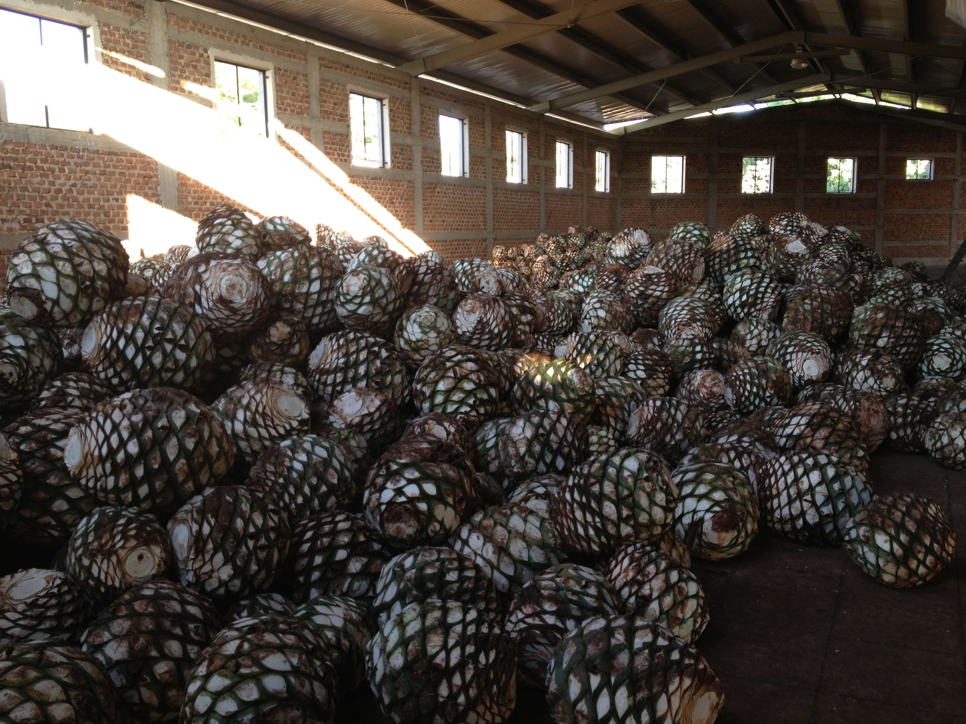 Agaves in the Distillery