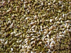 Balvenie Malted Barley