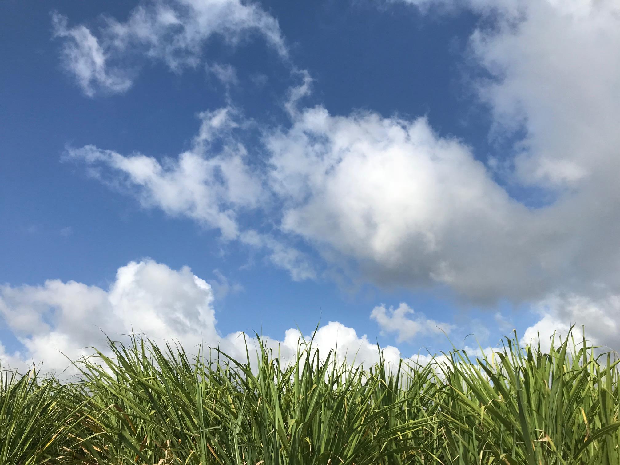 Trois Rivieres Sugar Cane Field 2