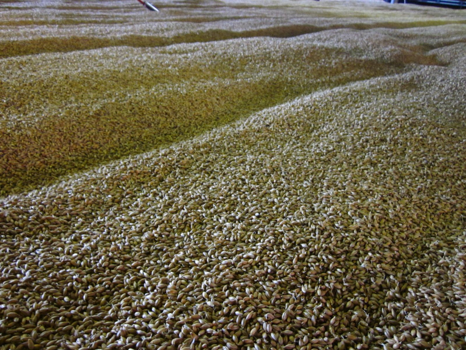 Balvenie Malting Floor Grains