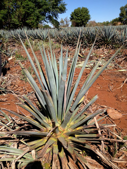 Mature Agave