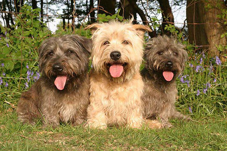 Three Glen of Imaal Terriers sitting together ... two brindles with a wheaten in the middle
