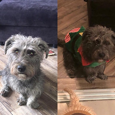 Young Glen of Imaal Terrier before and after surgery for PCDU