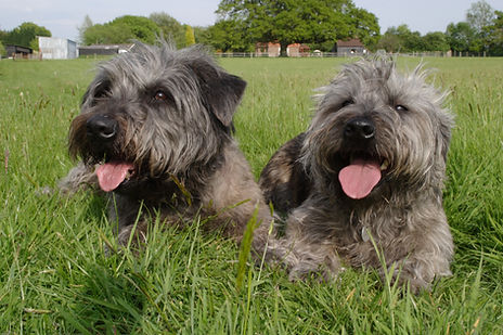 Two brindle Glen of Imaal Terriers lying side by side in the grass