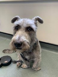 Glen of Imaal Terrier with the excessive turnout of the front feet that is a feature of PCDU