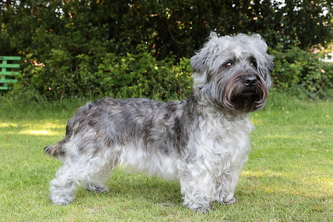 Tailed, brindle Glen of Imaal Terrier standing