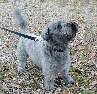 Adult Glen of Imaal Terrier with the characteristic slightly turned out front feet
