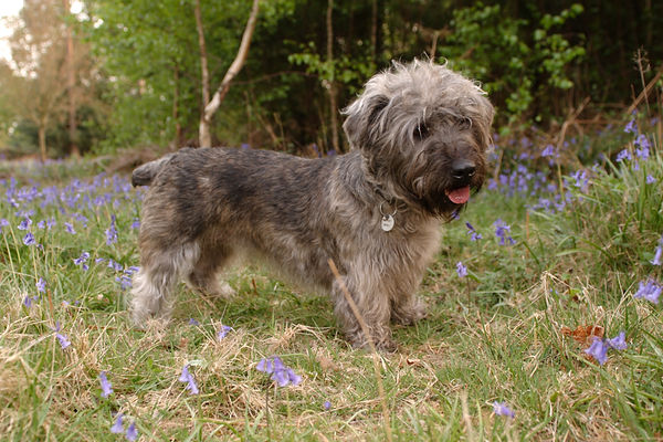 Young, docked brindle Glen of Imaal Terrier standing in the bluebells