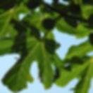figuier_arbre.jpg