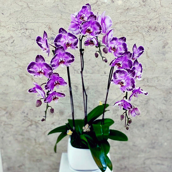 Phalaenopsis Orchids - Purple