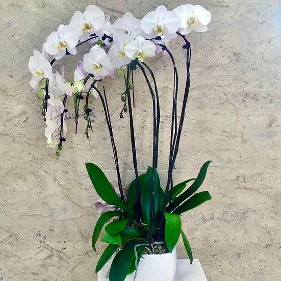 Phalaenopsis Orchids - White