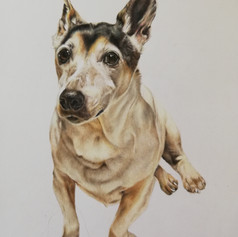 Jack Russell - Coloured pencil
