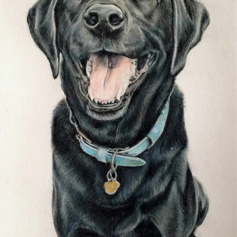 Black lab - Coloured pencil