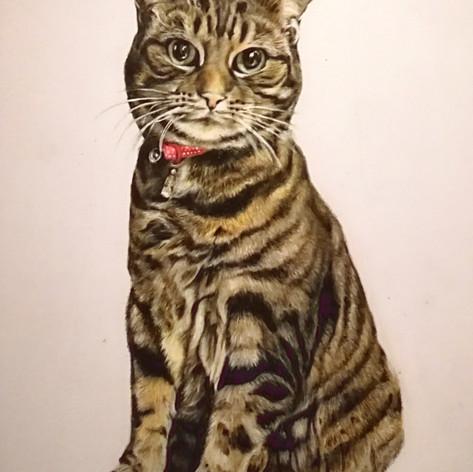 Tabby Cat - Coloured pencil