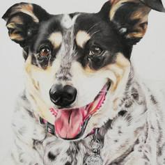 Spotty Dog - Coloured pencil