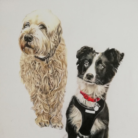 Collie and Goldendoodle - Coloured pencil