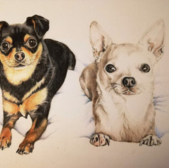 Chihuahuas - Coloured pencil