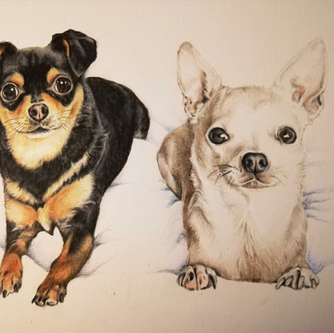 Chihuahuas - Coloured pencil
