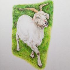 Goat - Coloured Pencil
