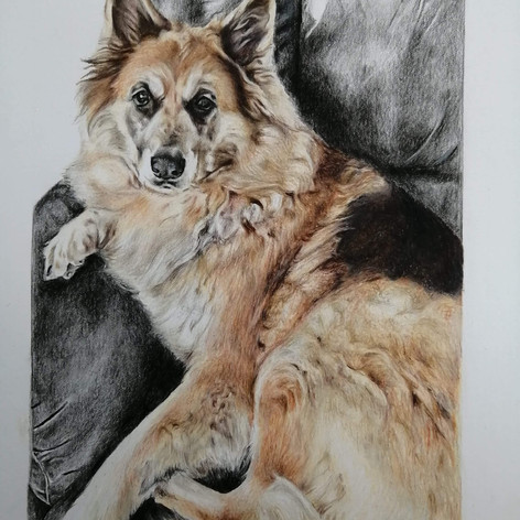 German Shepherd - Coloured Pencil
