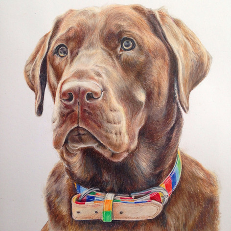 Chocolate lab - Coloured pencil