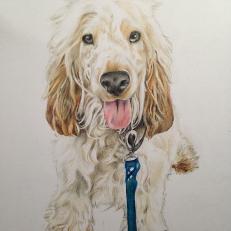 Spaniel - Coloured pencil