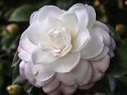 beautiful camellia.jpg