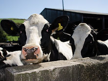 Dowsons Dairy Cows 5.jpg
