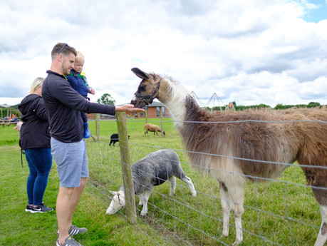 The playful llamas are back out in the fields...
