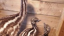 THREE BABY EMUS ARRIVE AT MRS DOWSONS