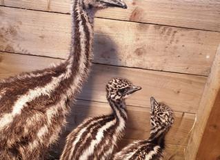 THREE BABY EMUS ARRIVE AT MRS DOWSONS