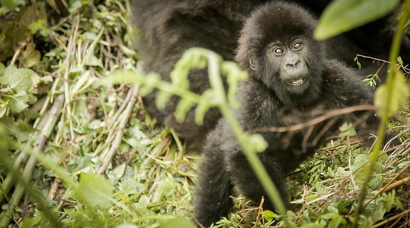 gabriel-blanco-baby-gorilla-rwanda copy.
