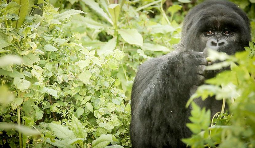 gabriel-blanco-gorilla-rwanda5 copy.jpg
