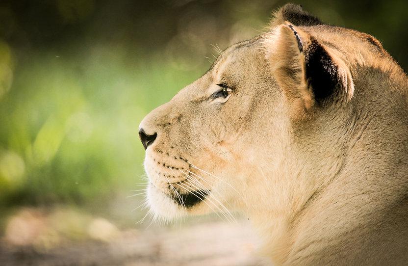 gabriel-blanco-lioness4.jpg