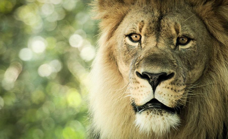 gabriel-blanco-lion1.jpg