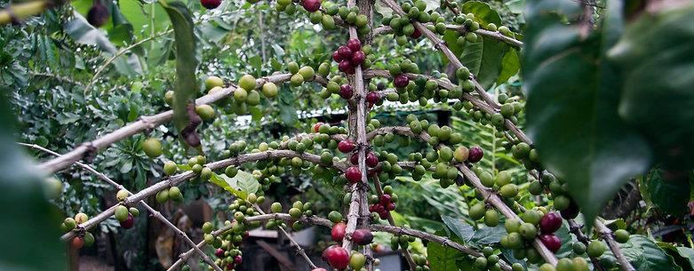 Caturra-Timor
