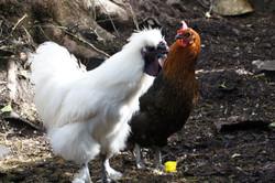 Arfryn Chickens
