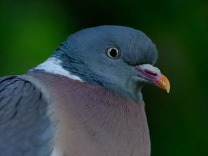 24 - Pigeon - Open.jpg