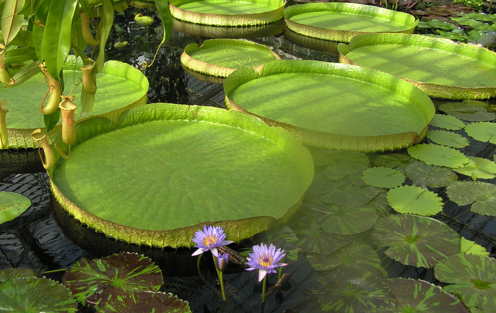 LILY PADS - OPEN CATEGORY - MEMBER NO 25