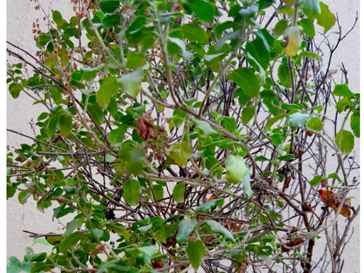 Tulsi and its Superpowers